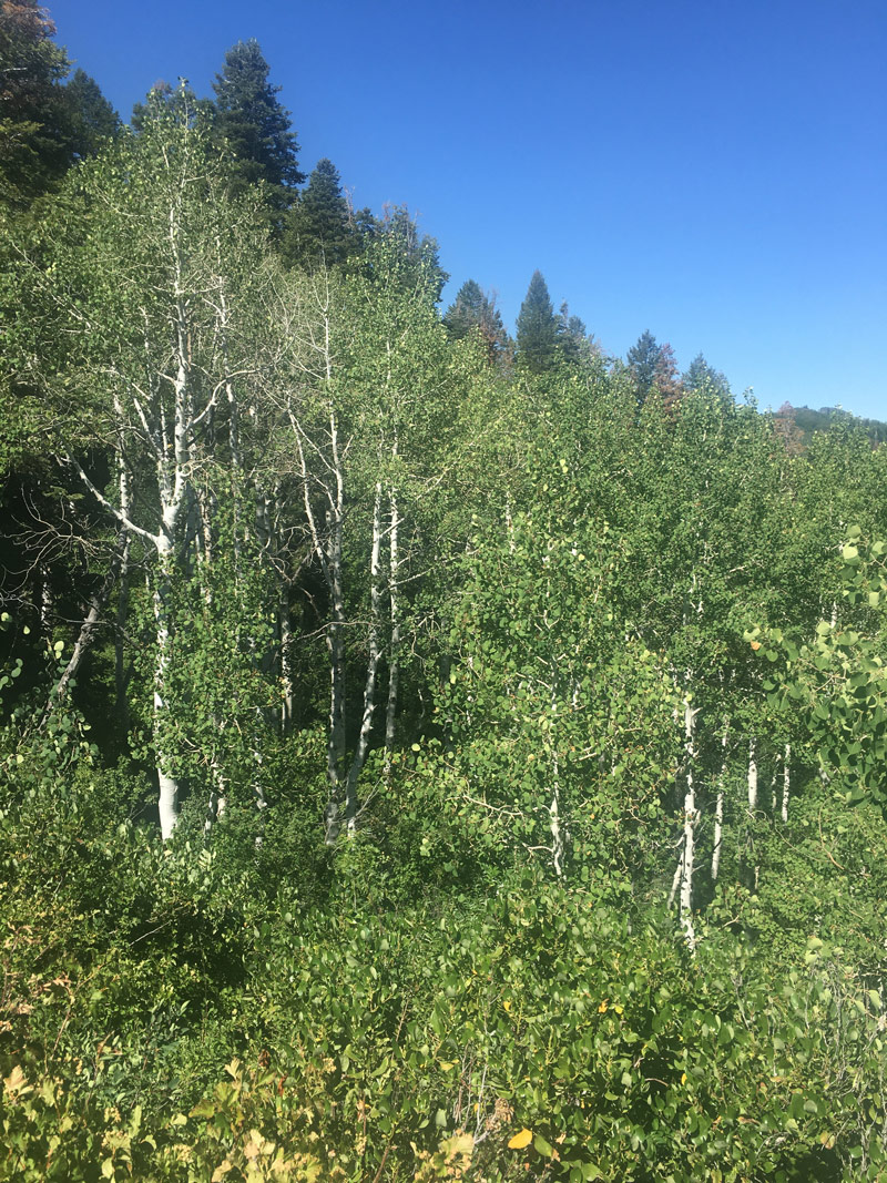 My favorite tree - aspen!