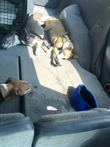Tired Italian Greyhounds wiped from hiking Grandeur Peak Trail
