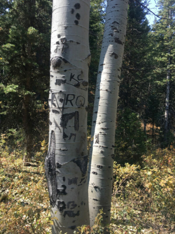 Apparently nature is learning English and leaving clever symbols etched into the Aspen bark