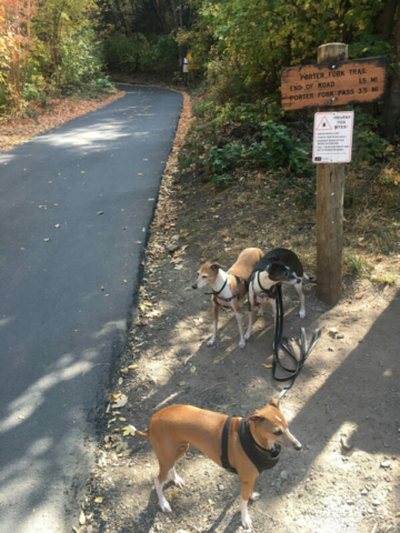 Porter Fork Trail with the Italian Greyhounds today
